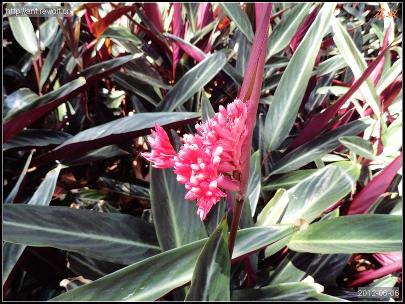 竹芋/耐寒性不高,花期夏季。