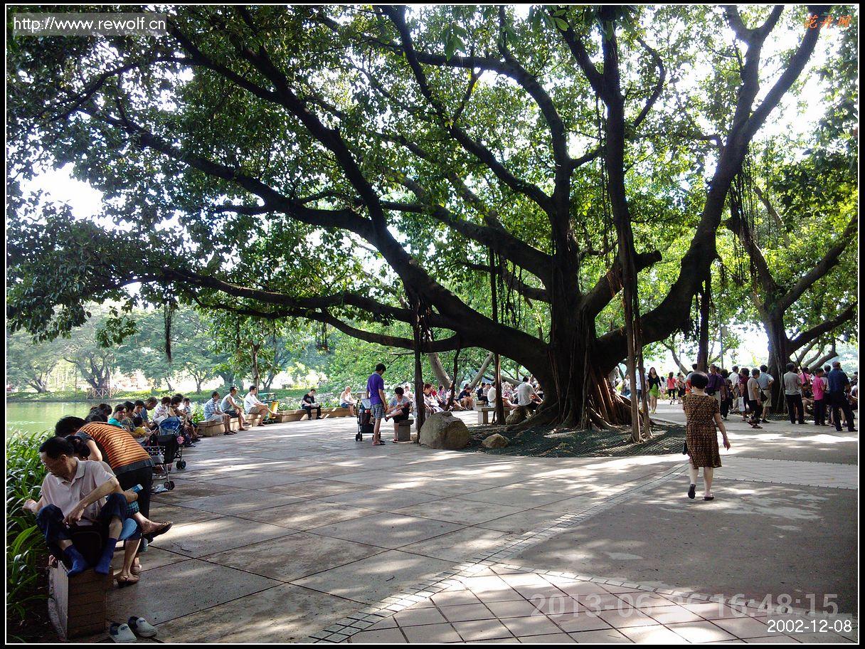 广州/作为广州的乡土树种,长速很快